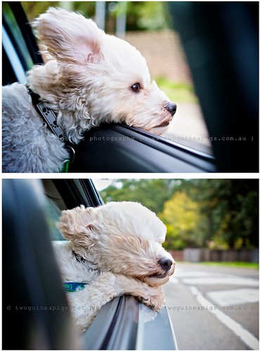 Love the wind Mozart poodle cross maltese dog photography by twoguineapigs Pet Photography