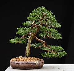 Shimpaku Roth 4-27-11 (OpenEye) Tags: old tree contest competition bonsai pollock juniper chinensis shimpaku mikepollock joshuaroth