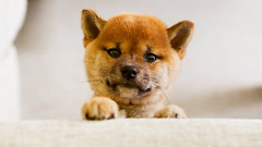 Just let me get on the couch (Lost in Japan, by Miguel Michn) Tags: cute dogs japan puppy firefox puppies kawaii  perros cachorros shibainu  mascotas sora japn   urajiro naturalmonumentofjapan ancientdogbreeds monumentonaturaldejapn