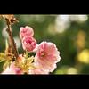Flickrversary (fotastisch) Tags: pink nature spring flickr blossom bokeh natur rosa petal panasonic flickrversary blüte frühling firstyear blüttenblatt fz28