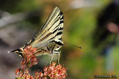 Podalirio (Loremart) Tags: macro nikon micro mm tre 60 calci swallowtail insetti bosco scarce colli farfalle iphiclides podalirius podalirio loremart