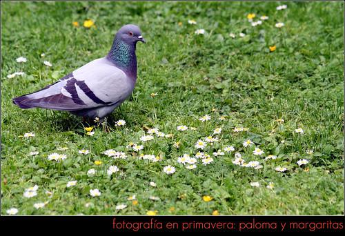 fotos en primavera: paloma y margaritas