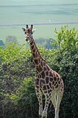Port Lympne giraffe against Kent background (Daves Portfolio) Tags: animals kent african safari giraffe safaripark wildanimals portlympne wildlifeexperience aspinall