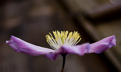 Nice in pink (VogelsPhotography) Tags: wedding spring dof bokeh sony clematis alpha royalwedding slta55