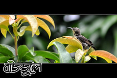 (bounduley) Tags: bird bangladesh moutushi tuntuni