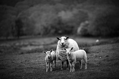 Sheep In wales  (3 of 3) {explored} (PhotKing ) Tags: portrait bw selfportrait wales canon photography countryside sheep phil country 85mm lincoln lamb mk2 hearing mk facebook mark2 photographyking 5dmk2 5dmark2 philhearing