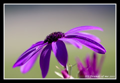 purple spanish daisy macro (drbob97) Tags: mygearandme mygearandmepremium mygearandmebronze mygearandmesilver mygearandmegold mygearandmeplatinum mygearandmediamond purplespanishdaisymacrodrbobdrbob97canon100mmisusmf2 8utrechtutregnederlandnetherlandflowerflowerscloseupbeautifulbeautystunningfocusdofpov