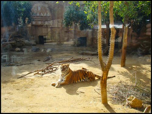 Tigres en Tabernas