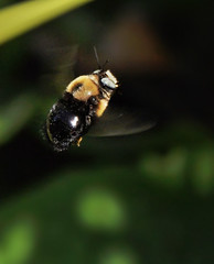 Brown-belted bumblebee, hovering