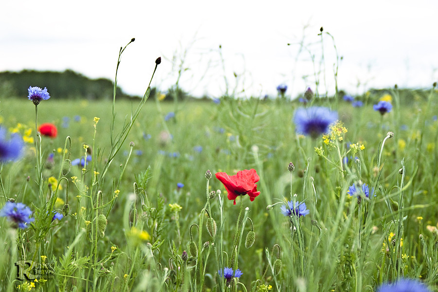 poppy, cornflower and the wild meadow