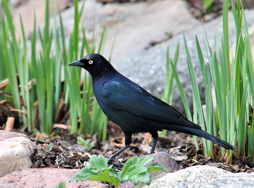 common grackle male. Common Grackle (Male)