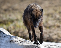 Yellowstone Wolf Tracking Me? (CR Courson) T