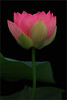 Pink Lotus and the leaf - IMG_1120-1-800 (Bahman Farzad) Tags: pink flower macro yoga peace lotus relaxing peaceful meditation therapy lowkey lotusflower lokey lotuspetal lotuspetals lotusflowerpetals lotusflowerpetal