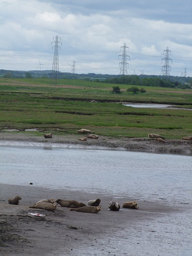 Common Seals in Teeside Nature Reserve