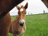 What More Could You Ask For (Roofer 1) Tags: pasture newborn belgian colt workhorse