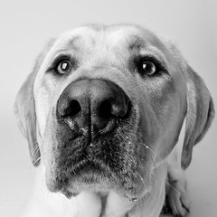 Rocket (Charlie the Cheeky Monkey) Tags: dog nose lab service ldlportraits