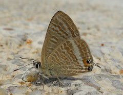 Long Tailed Blue (Lampides boeticus) (Rezamink) Tags: turkey butterflies lampidesboeticus longtailedblue