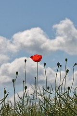 Leftover (ivlys) Tags: sky clouds himmel wolken poppy rohrbach papaver odenwald mohnblume ivlys grtnereirohrbach