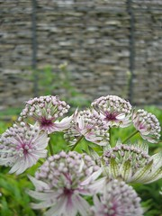 Hyde Hall (pillager) Tags: pink flower rhs hydehall astrantia gabions