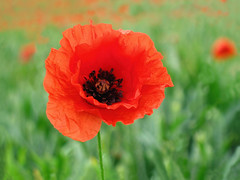 Poppies in a Field (Batikart ... handicapped ... sorry for no comments) Tags: red vacation plant black flower macro green rot nature field grass june closeup juni canon landscape geotagged spring focus holidays europa europe dof belgium blossom bokeh wheat urlaub natur pflanze feld powershot petal poppy gras grn blume makro wildflower ursula blte landschaft stalk schwarz 2012 frhling flanders belgien dehaan a610 sander halm wheatfield klatschmohn mohnblume frhjahr flandern weizen papaverrhoeas bltenblatt 2011 wildblume canonpowershota610 weizenfeld 100faves 50faves 200faves triticum klatschrose viewonblack batikart papaveroideae westflandern saariysqualitypictures