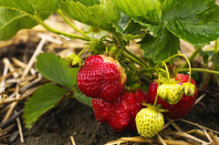 Strawberries in the Field, Maxwell's Farm (Cindy Farr-Weinfeld) Tags: food fruit photography strawberry berry farm seasonal maine strawberries edible maxwells capeelizabeth nikcolorefexpro farrweinfeld