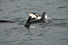 Orca Pod - 04