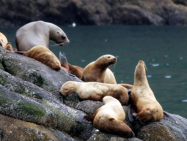 Stellers Sea Lions 20110625