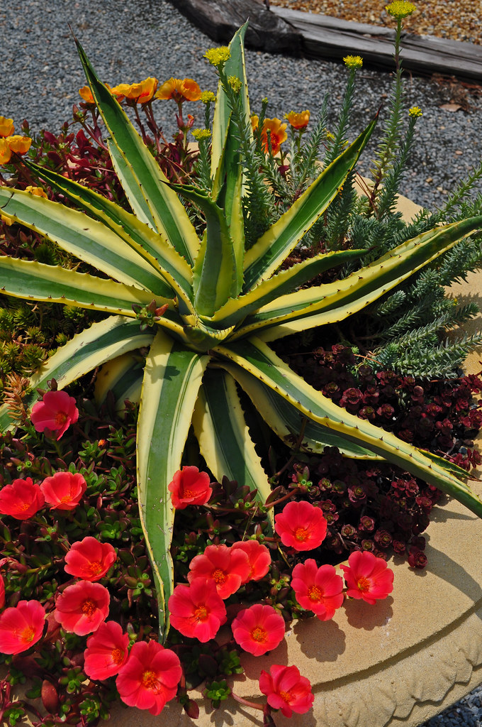Drought Tolerant Planter (5)