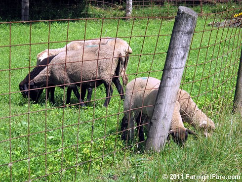 Lambs grazing through the fence - FarmgirlFare.com