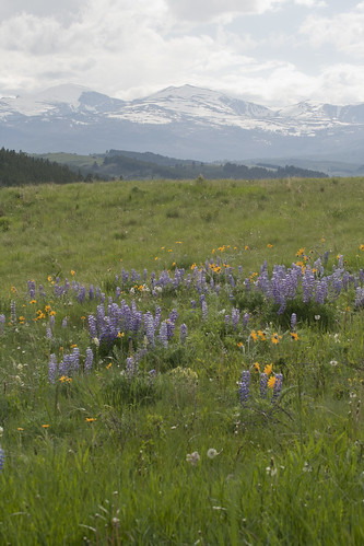 bighorn-wildflowers