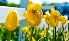 Yellow Tulips (mrbrkly) Tags: flowers flower yellow virginia spring tulips bloom canberra hampton yellowtulips