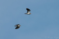 Lapwing-6656 (WendyCoops224) Tags: 100400mml 70d woodwaltonfen canon eos wendycooper lapwing