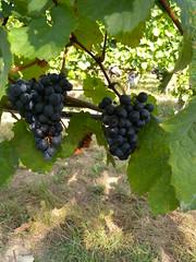 20161001_Weinwandertag_034 (weisserstier) Tags: wien vienna austria weinwandertag wandern hiking weintrauben wein lebensmittel food nahrungsmittel frucht