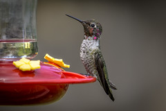 Anna's Hummingbird (Paul Rioux) Tags: nature avian bird annas hummingbird feeding resting sony a6000 prioux 100400f4556l fotodioxpro outdoor backyard