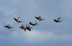 Greylag Goose Infiltrates a Canada Goose Squadron (chdphd) Tags: brantacanadensis canadageese canadagoose canada geese goose montrose montrosebasin anseranser anser