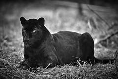 black (rondoudou87) Tags: panthre panther panthera black blackwhite blanc noiretblanc noir monochrome pentax k1 nature wild wildlife parc zoo reynou blackpanther wow