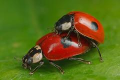 Ladybird lovebirds (steb1) Tags: macro nature insect mating coleoptera coccinellidae adaliabipunctata twospottedladybird