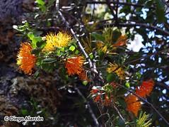 Quintral amarillo, Desmaria mutabilis (Chilebosque) Tags: amarillo mutabilis loranthaceae quintral parsitas desmariamutabilis desmaria