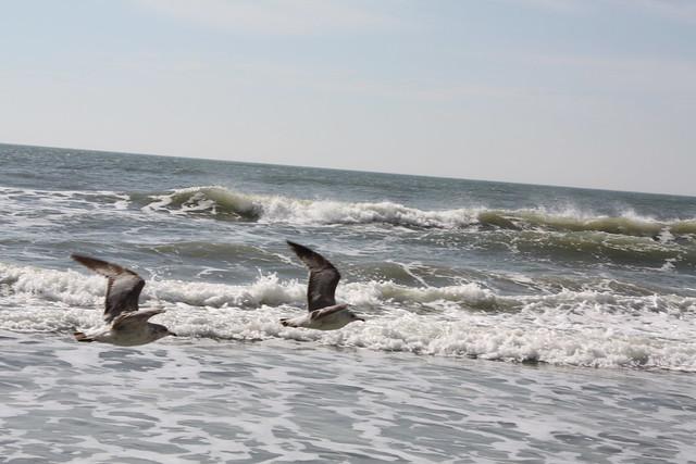 myrtle beach birds