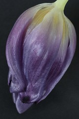wilting (Pip059) Tags: black flower macro nature petals purple tulip ufcontest4