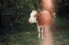 priroda i drutvo (_selma) Tags: nature animal analog cow zenit krava vaca