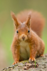 Un cureuil  sur un tronc, Red Squirrel (Zed The Dragon) Tags: wild french geotagged effects photography soleil photo squirrel squirrels flickr view minolta photos sony images best full fave un most le frame getty sur faves 100 fullframe alpha antony animaux foret parc postproduction franais sal zed gettyimages francais sceaux lightroom f40 cureuil sauvage effets 200mm ecureuil parcdesceaux favoris 24x36 iso1000 a850 0004sec sonyalpha hpexif 100commentgroup 100comment minoltaapo 80200apog parcsceaux dslra850 alpha850 mygearandme zedthedragon 100coms