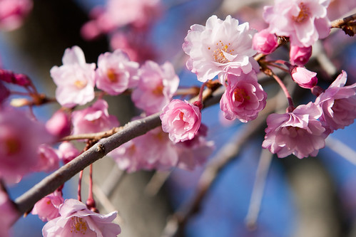 Cherry Blossoms 2011-9953.jpg