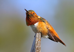 Rufous Hummingbird [Explored best position #123] (bmse) Tags: canon chica hummingbird bolsa salah 400mm rufous bmse baazizi