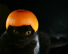 Stupidity at it's Best....  Explore #162 (Cindy's Here) Tags: orange black macro colors fruit cat canon eyes feline serious helmet explore stupidity embarassing minature stupidness contrasting 365daysincolor fruithelmet ourdailychallenge challengemeweekly sophisticatedblack