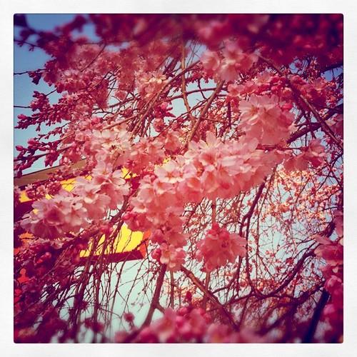 鳥居と桜 by 55DESIGNS