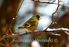 Oriental Greenfinch - Karuizawa_S4E2635-115 (fveronesi1) Tags: birds japan asia finches honshu orientalgreenfinch carduelissinica