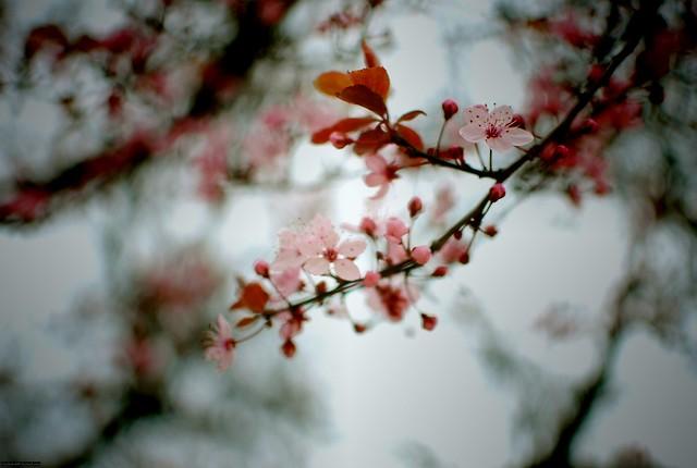 kirsikkalomo