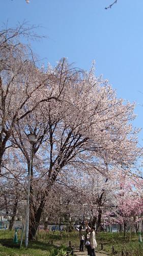 2011/04 平野神社 #06