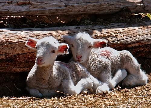 フリー写真素材, 動物, 哺乳類, ウシ科, 羊・ヒツジ,